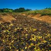 (Thousands of imperfect bananas lie in a drainage ditch, dumped by United Fruit. Rio Estrella, Costa Rica, from Waste, Tristram Stuart)